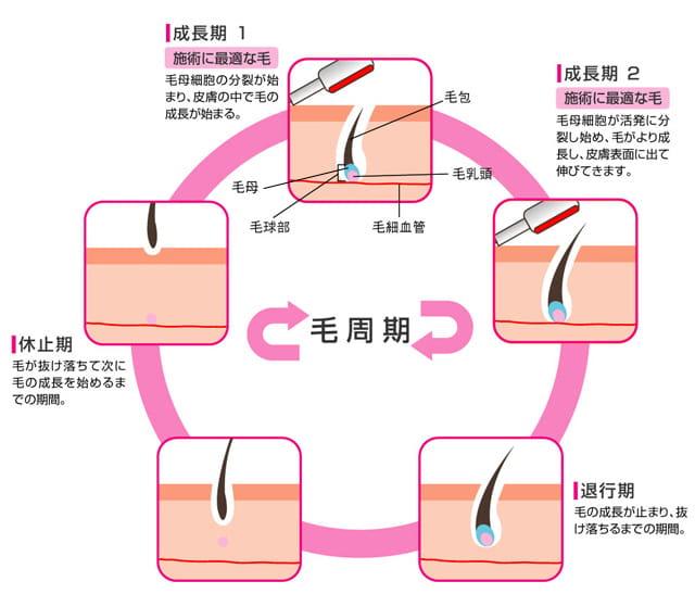 周期(毛周期)の解説画像
