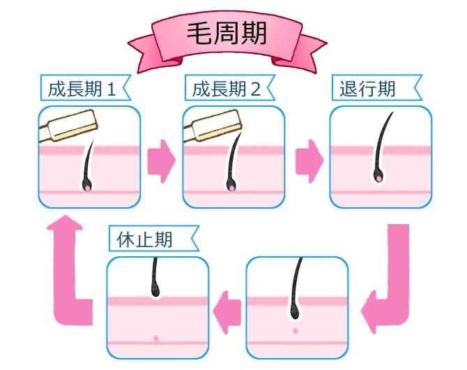 毛の周期の解説画像